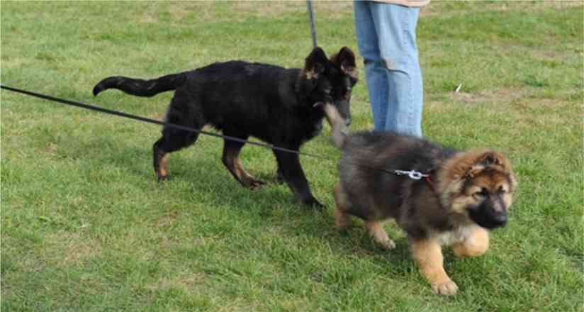 King Shepherd Puppies Puppy competitors - Gina and